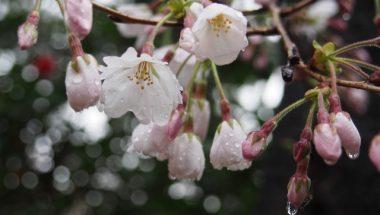 お花見の日なのに天気予報は雨・・・雨と桜を楽しむ方法