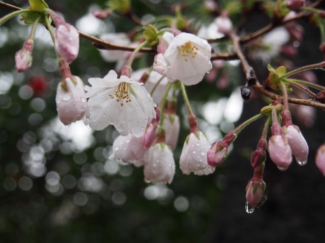 雨に濡れる桜の花